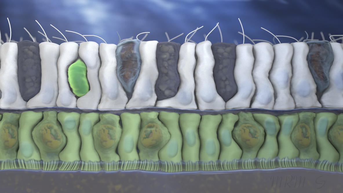 Sample 1: Coral cell biology, epidermis